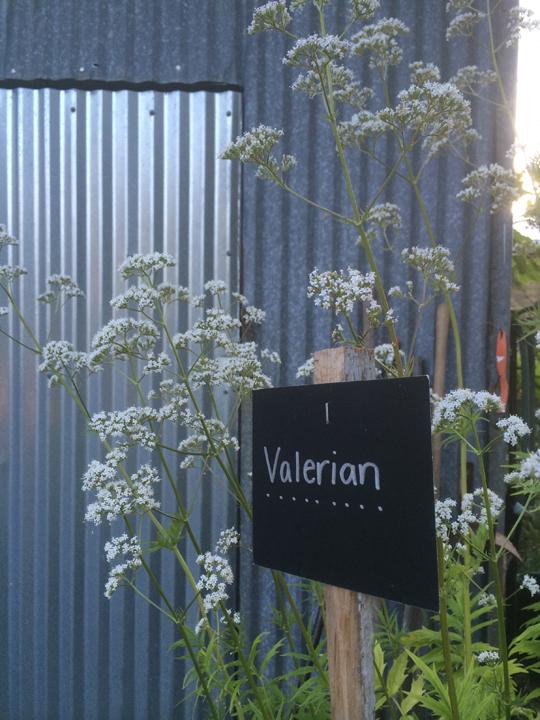 bd-valerian